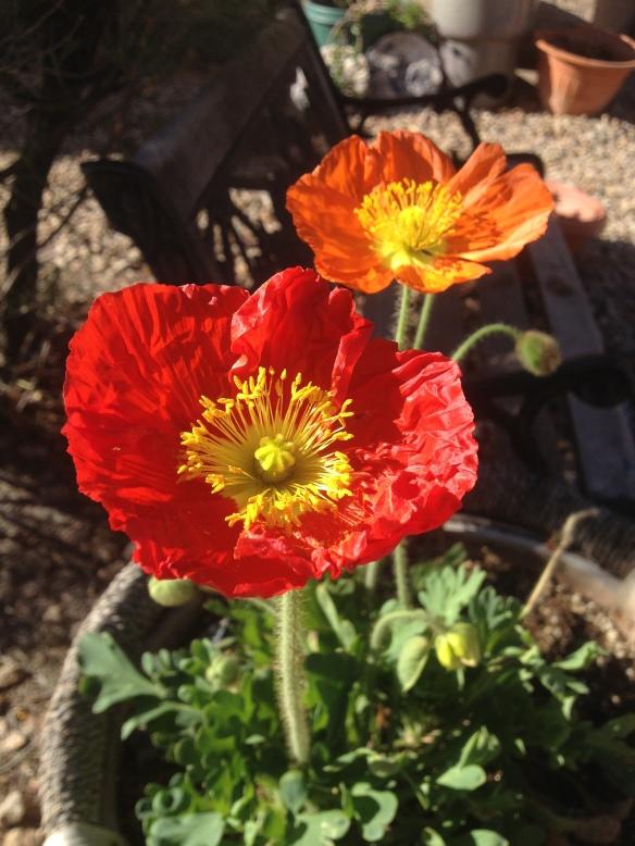 Poppies with BeautifulAZ.com